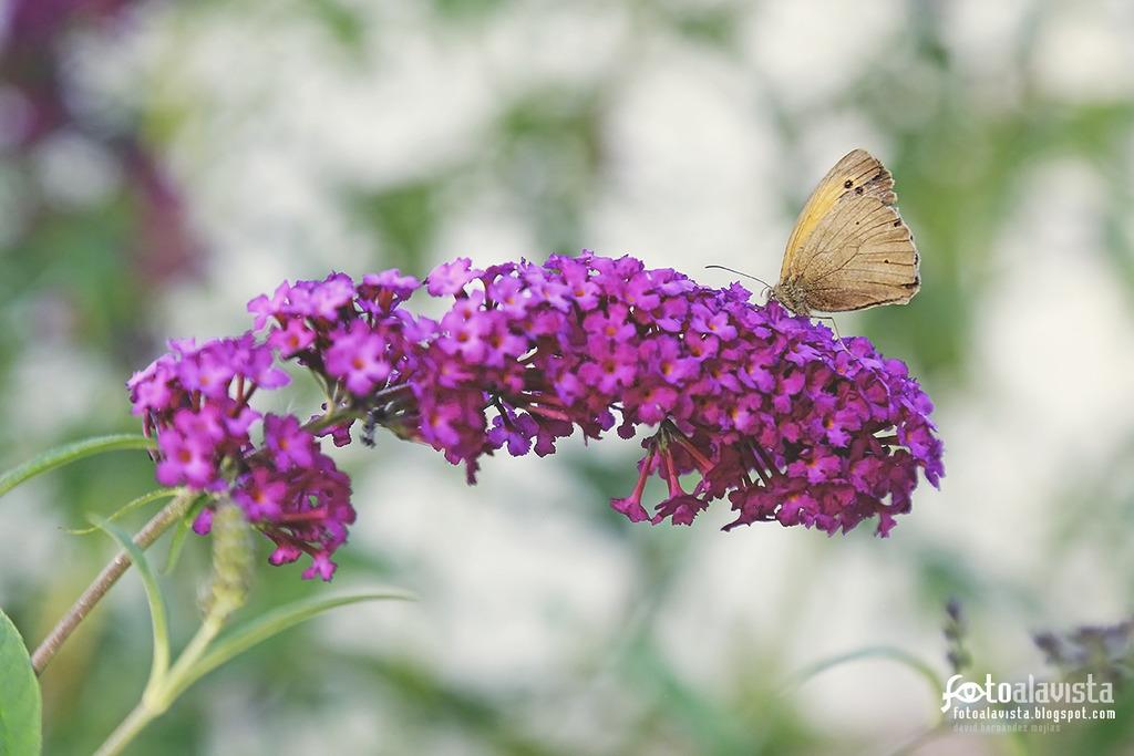 Inflorescencia vencida por el peso de la mariposa - Fotografía artística