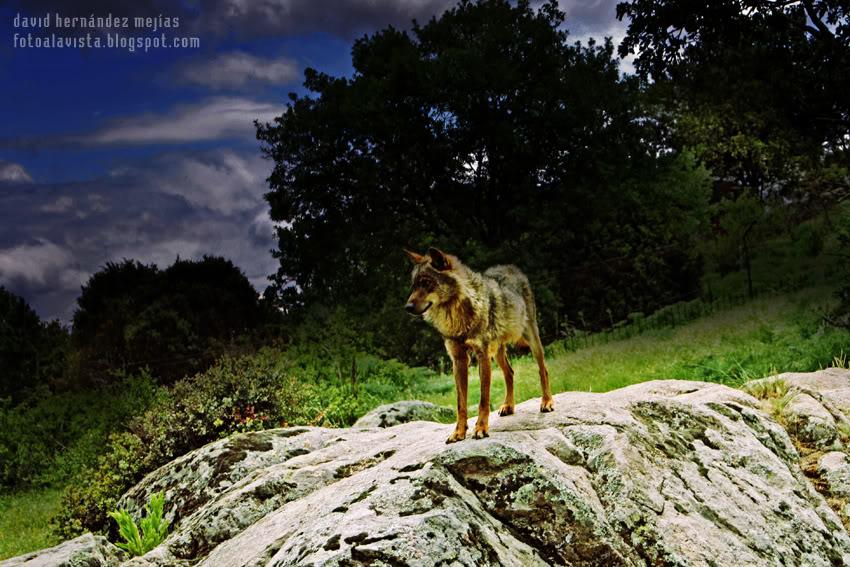 Lobo de noche, lobo de día