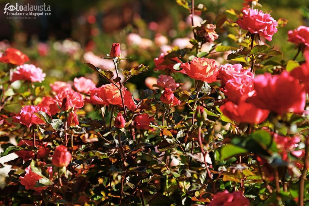 Ese campito de rosas frescas. Fotografía creativa - Fotografía decorativa