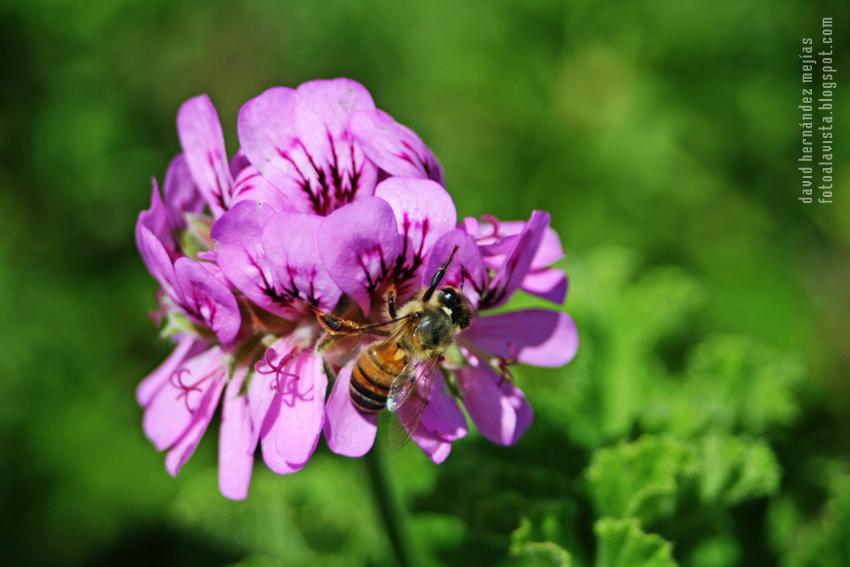 Abeja floral