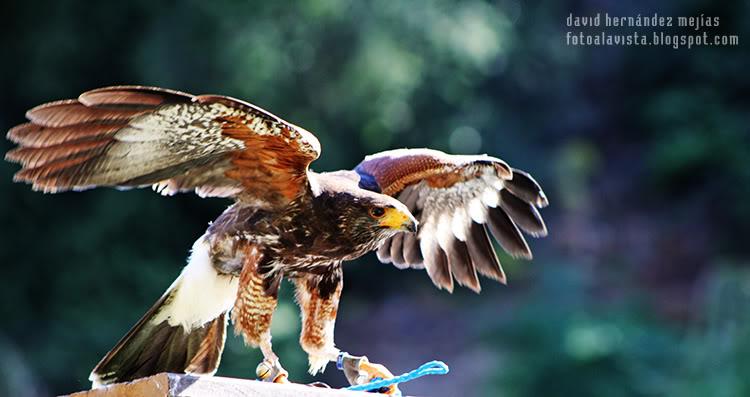 Fotografía realizada en Miranda do Douro, Portugal, a una especie de halcón de la zona de los Arribes del Duero, en una exhibición de aves rapaces