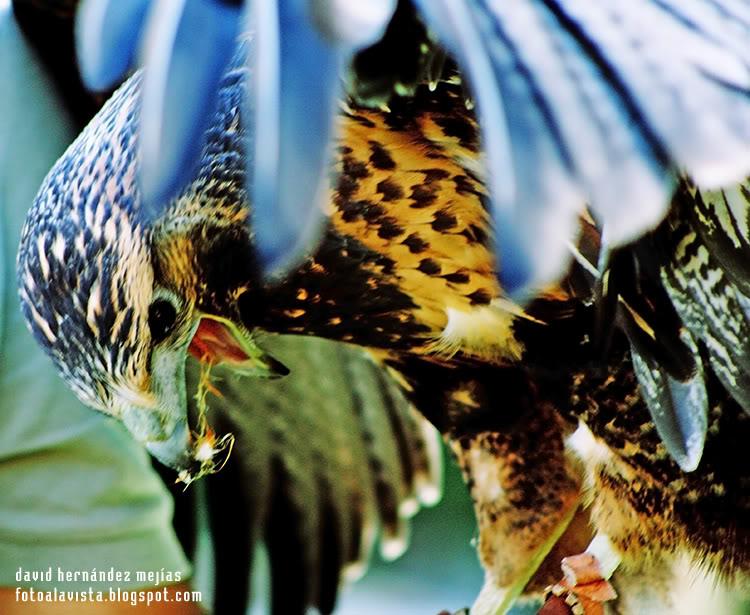 Fotografía realizada en Miranda do Douro, Portugal, a un ave de la zona de los Arribes del Duero perteneciente a la familia de los halcones, en una exhibición de aves rapaces
