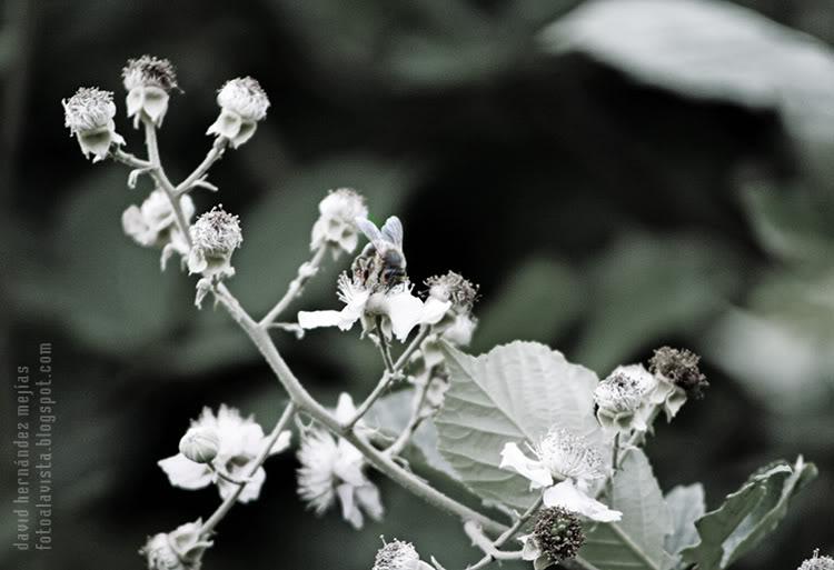 Una abeja obrera trabajando sobre una flor con restos de flores a la izquierda, de los cuales los sépalos  y el cáliz asemejan máscaras