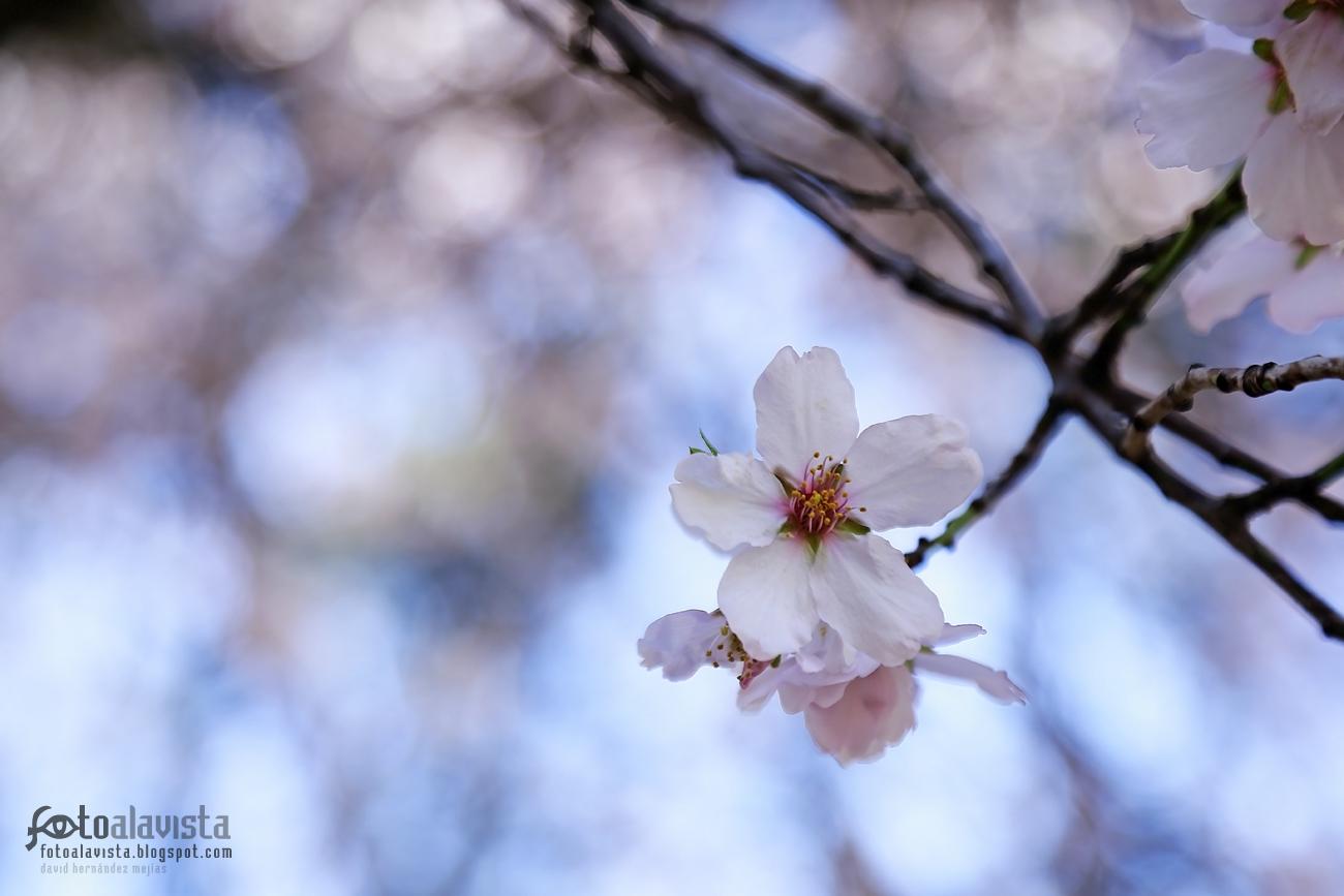 Esa delicada flor de almendro en rama. Fotografía creativa - Fotografía artística