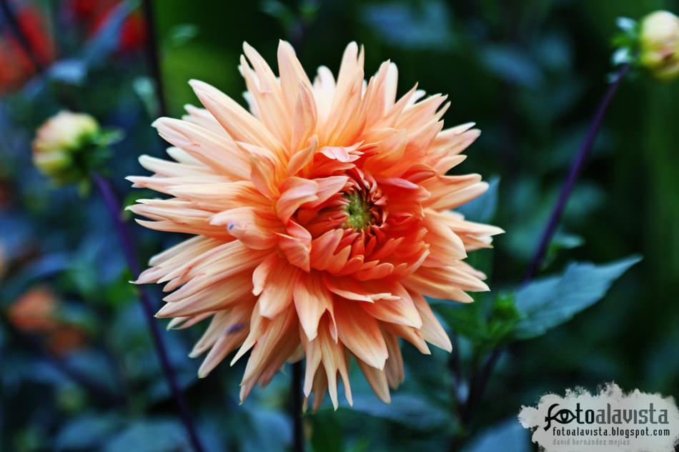 Flor de cele-abre-ación