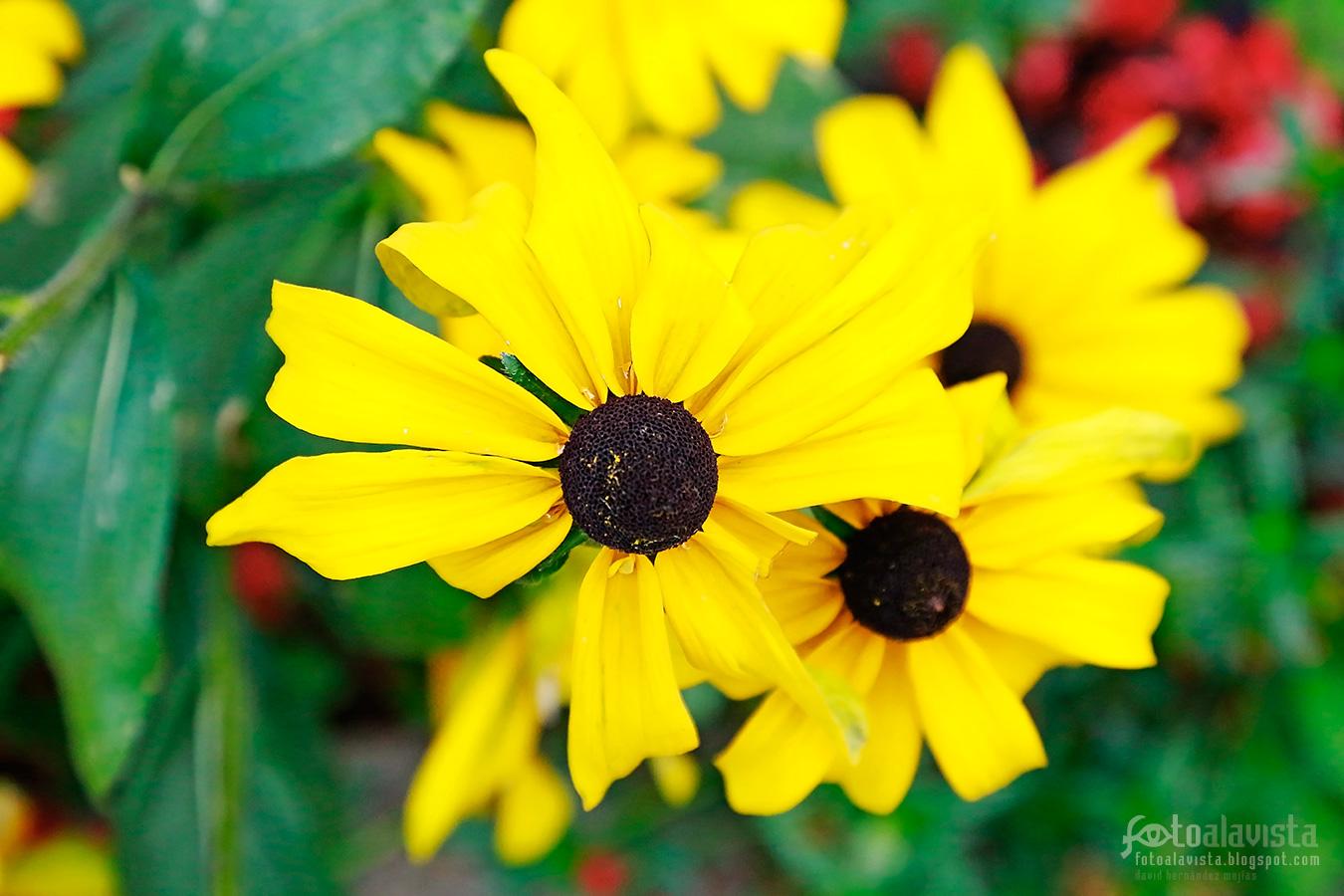 Como botones rodeados de pétalos amarillos - Fotografía