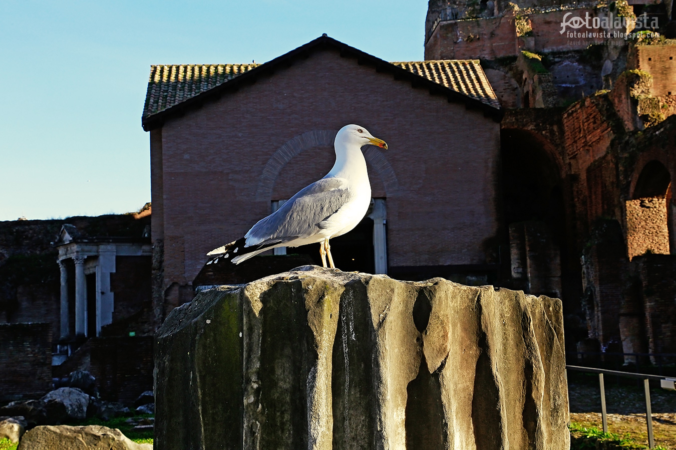 Gaviota a la romana - Fotografía