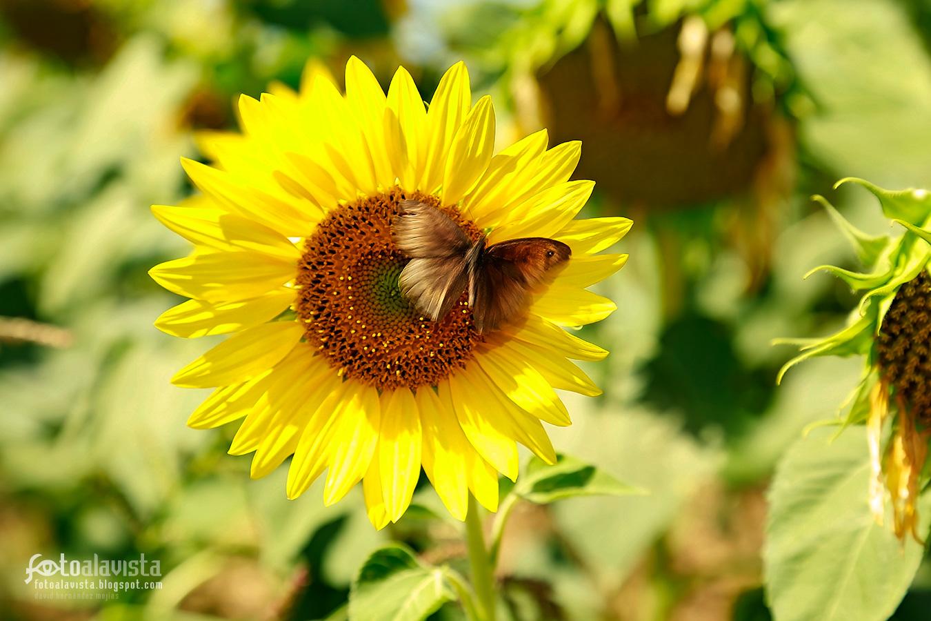 El girasol y la mariposa que se transforma - Fotografía