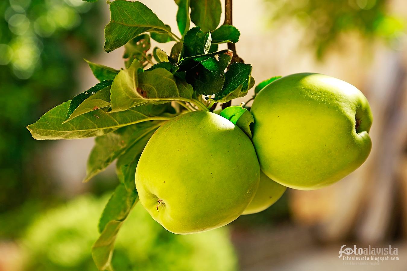 Pequeño ramillete de manzanas - Fotografía