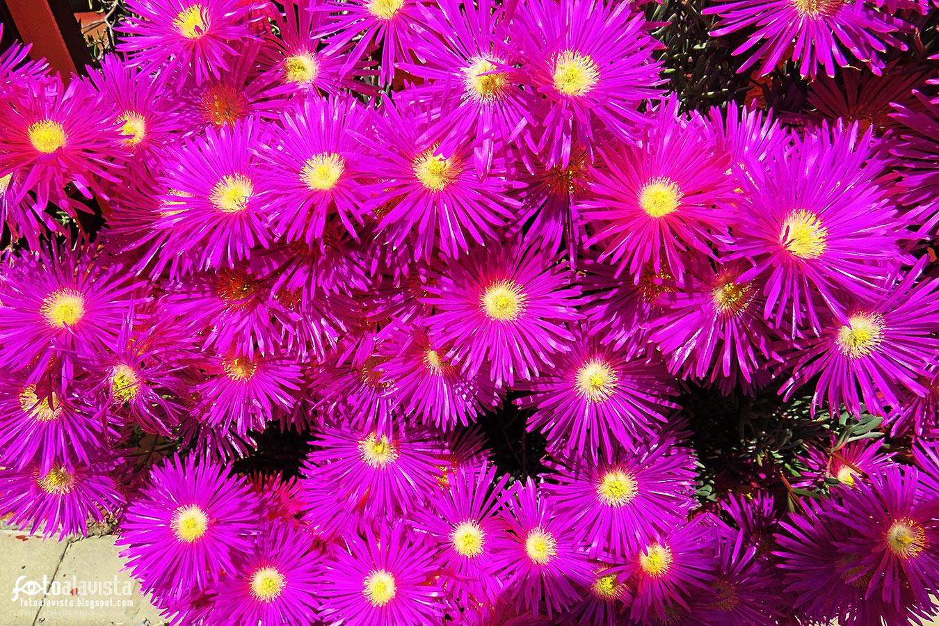 Como una fiesta fluor de flores fusia con centro amarillo - Fotografía