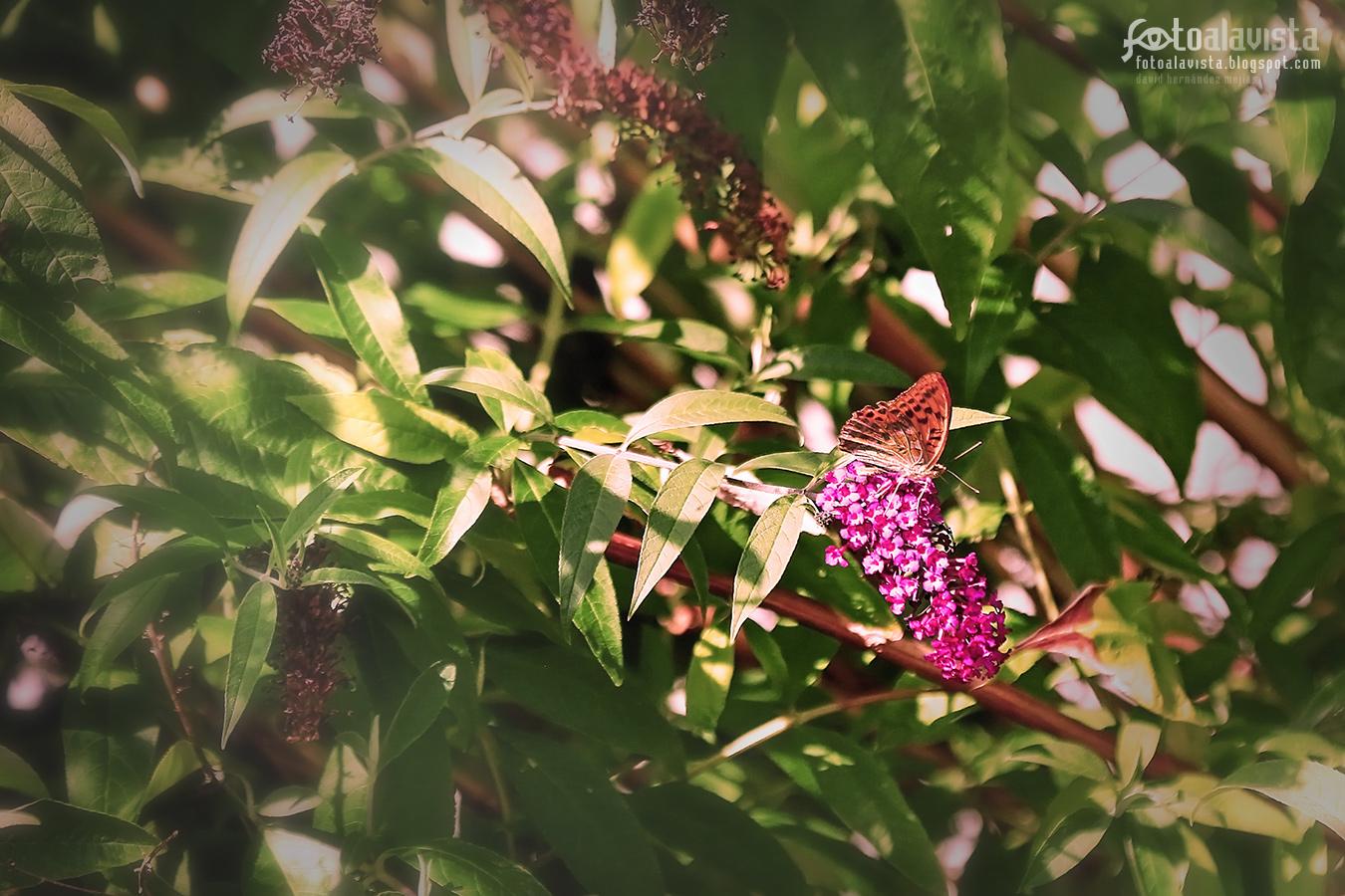 Mariposa perfumándose - Fotografía