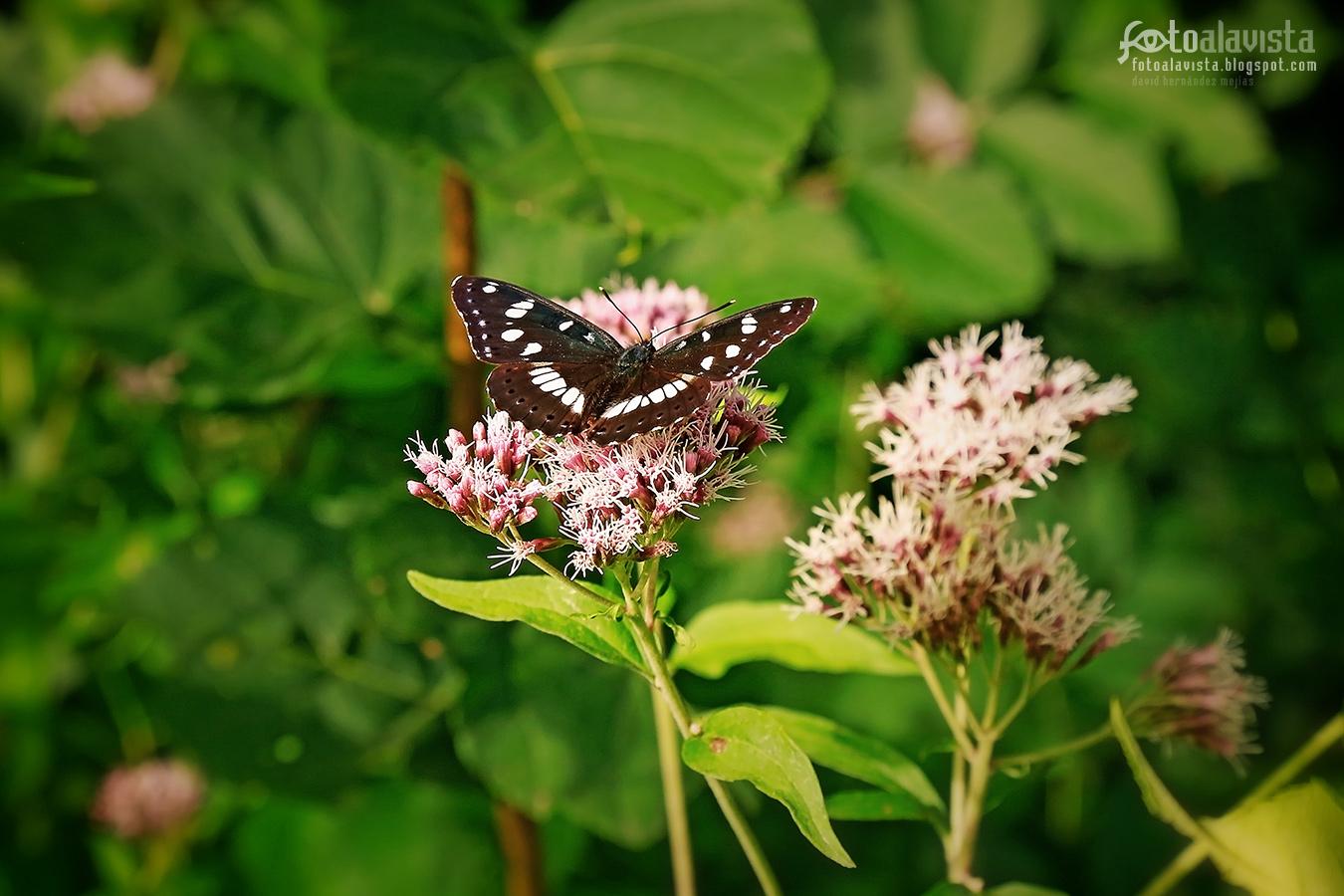La bella negra mariposa - Fotografía