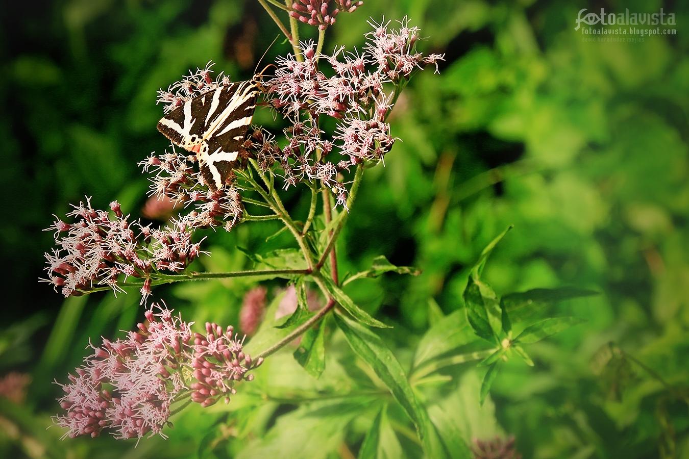 ¿Mariposa o cebra? - Fotografía