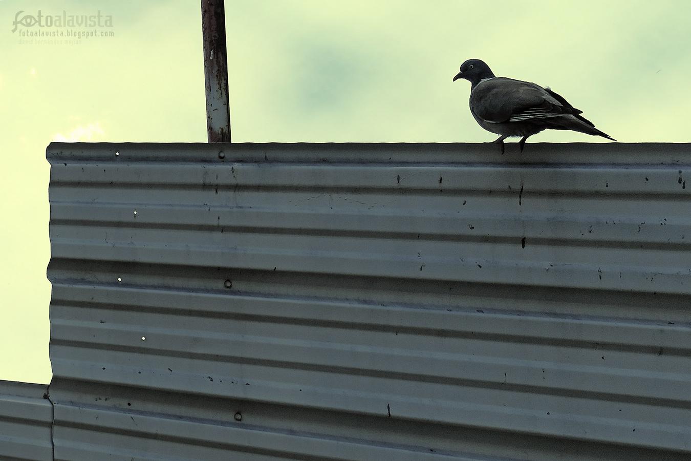 Paloma sola e incrédula - Fotografía