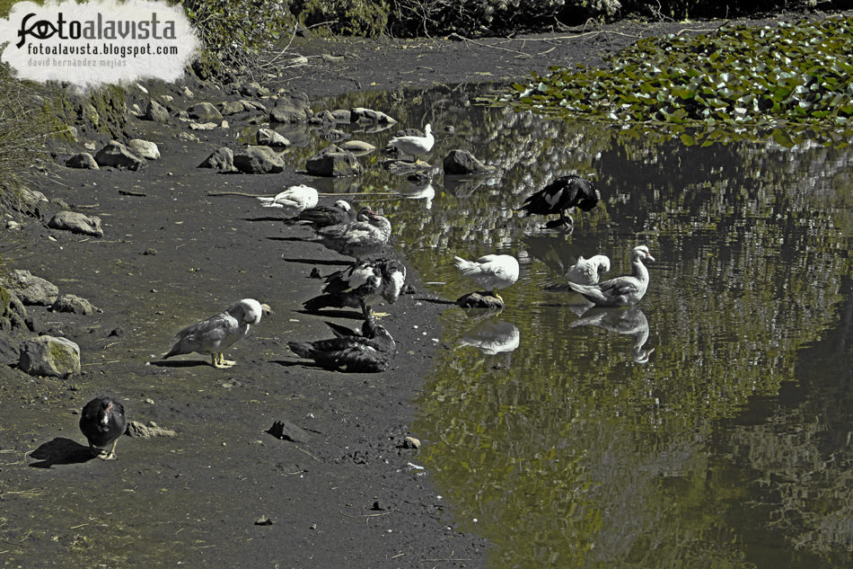 Al agua patos reflejados
