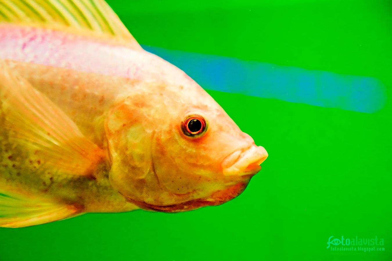 El pez de gesto adusto - Fotografía