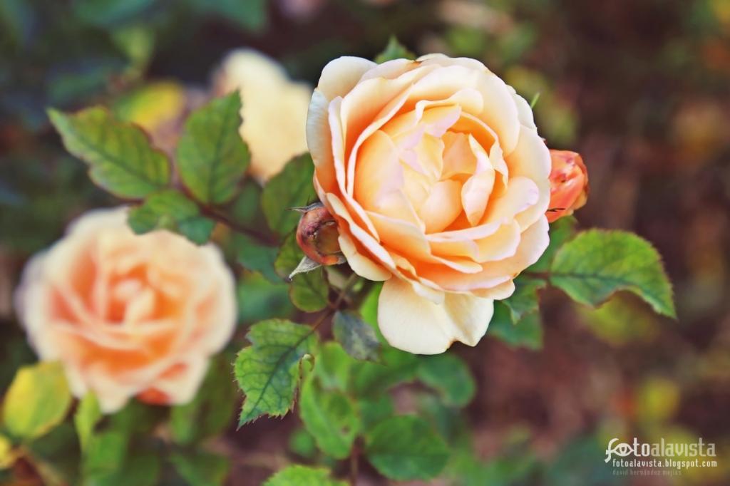 A la rosa que siempre acompaña. Fotografía creativa - Fotografía decorativa