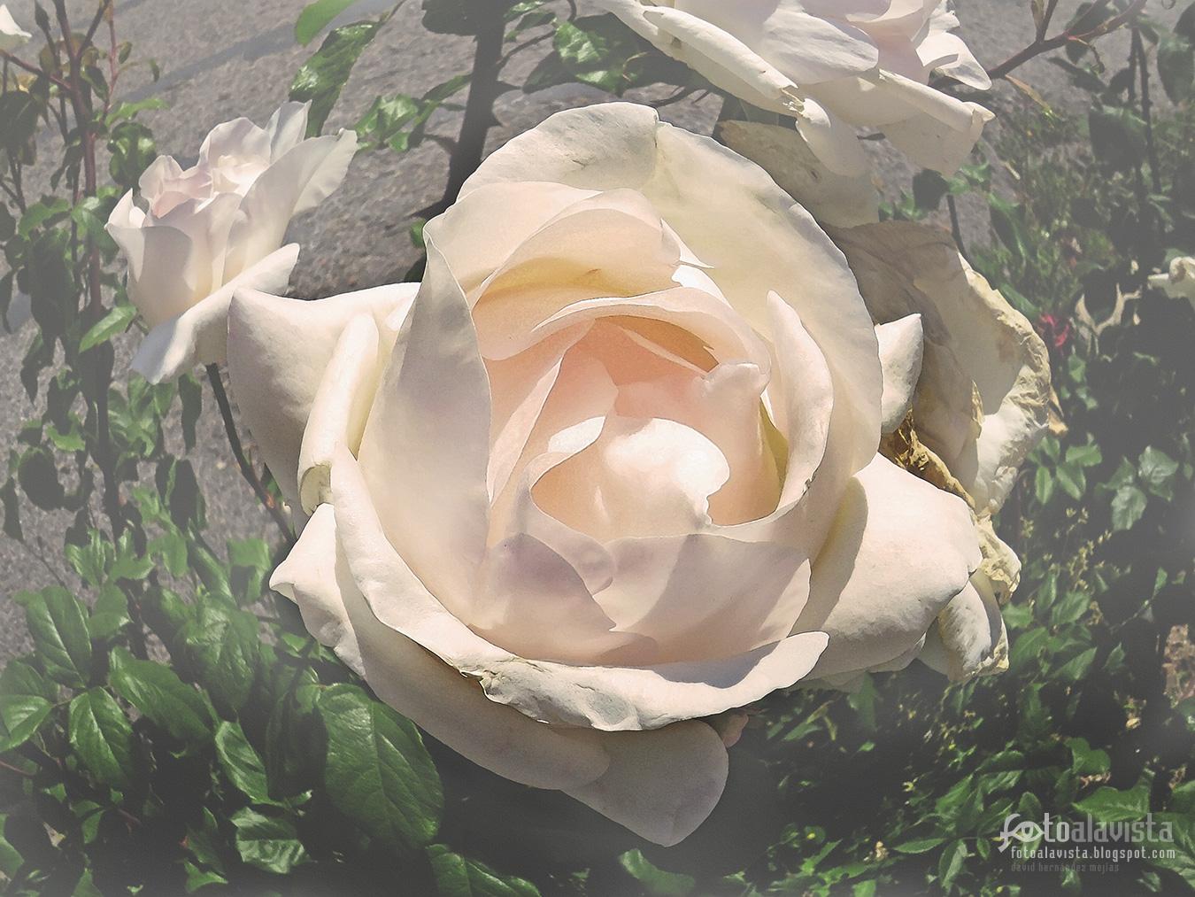 Rosa blanca esférica romántica - Fotografía