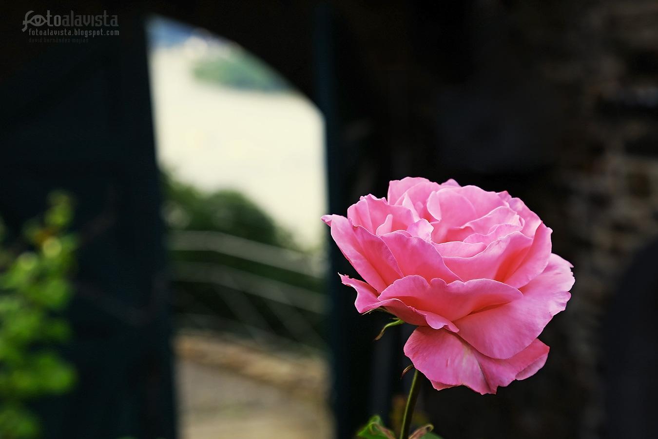 Rosa que mira por la ventana - Fotografía