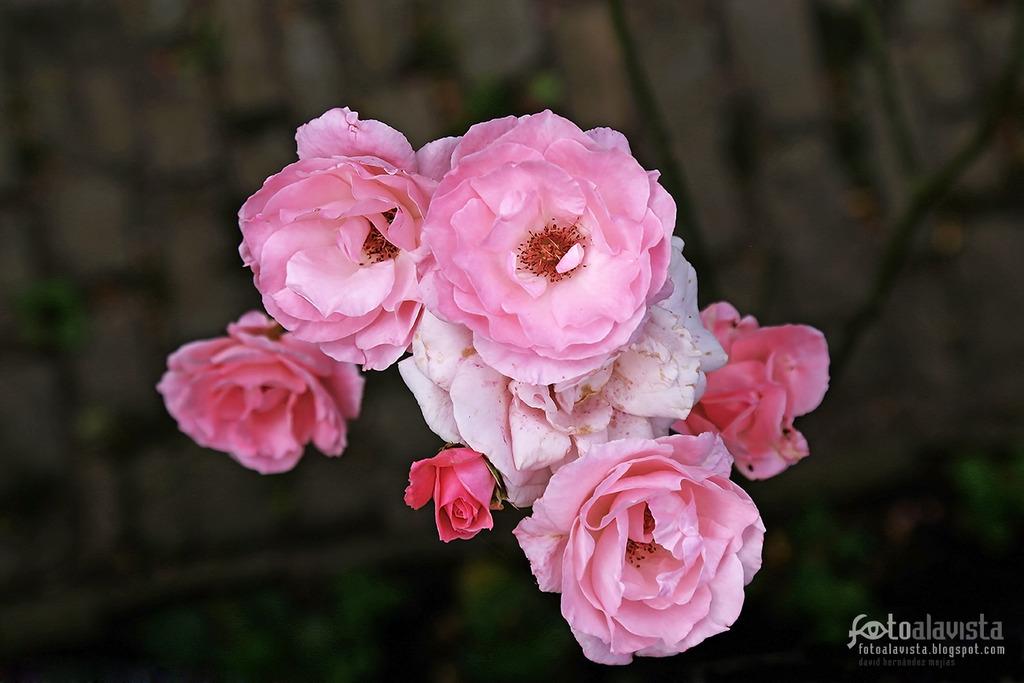 Cum puniceo rosas - Fotografía artística