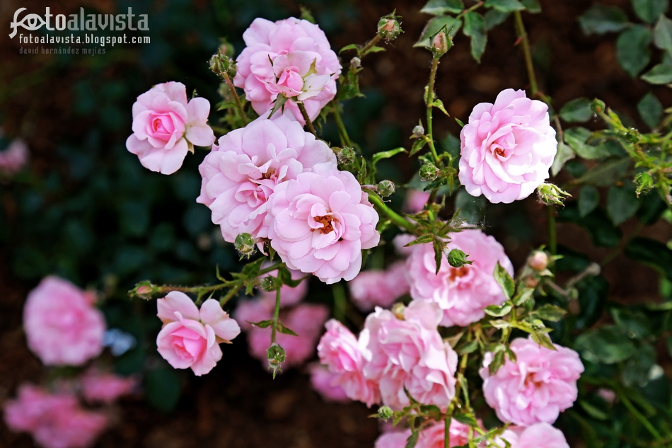 Rosas rosae rosas. Fotografía creativa - Fotografía decorativa