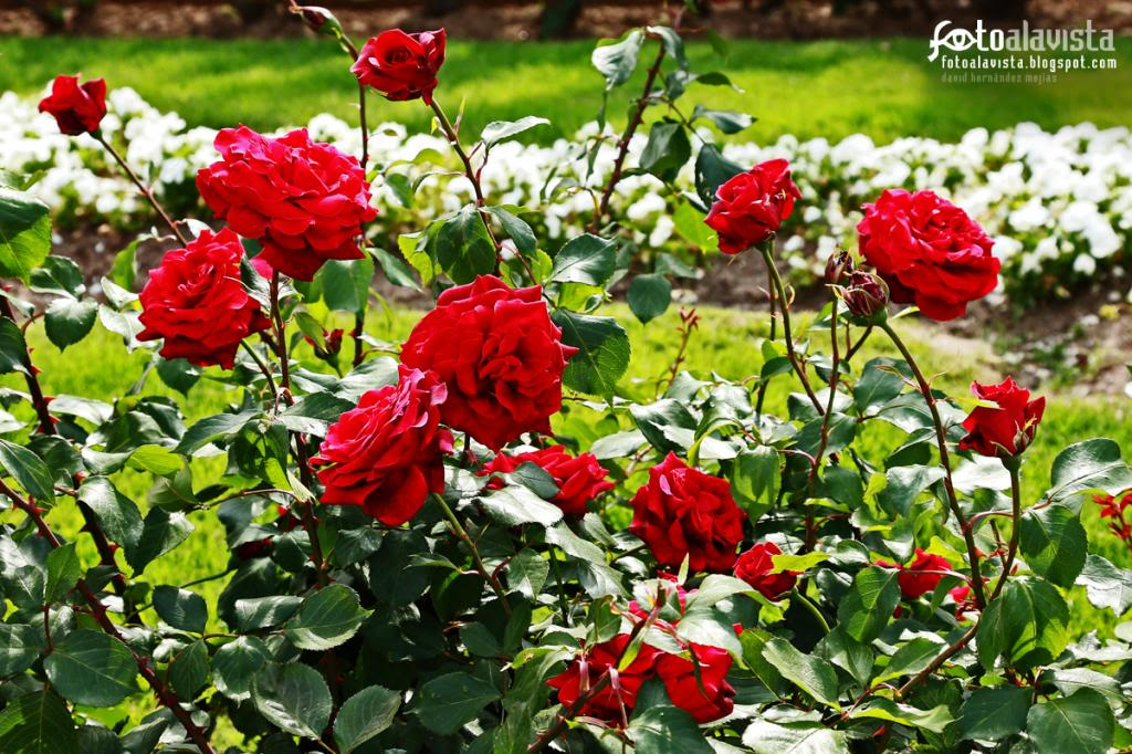 Rosas para una madre