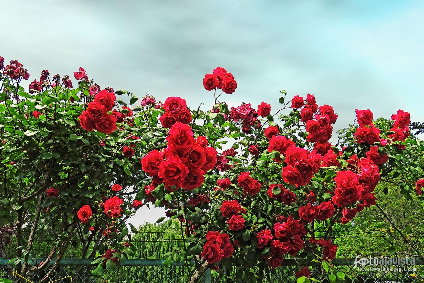 Rosas y espino - Fotografía
