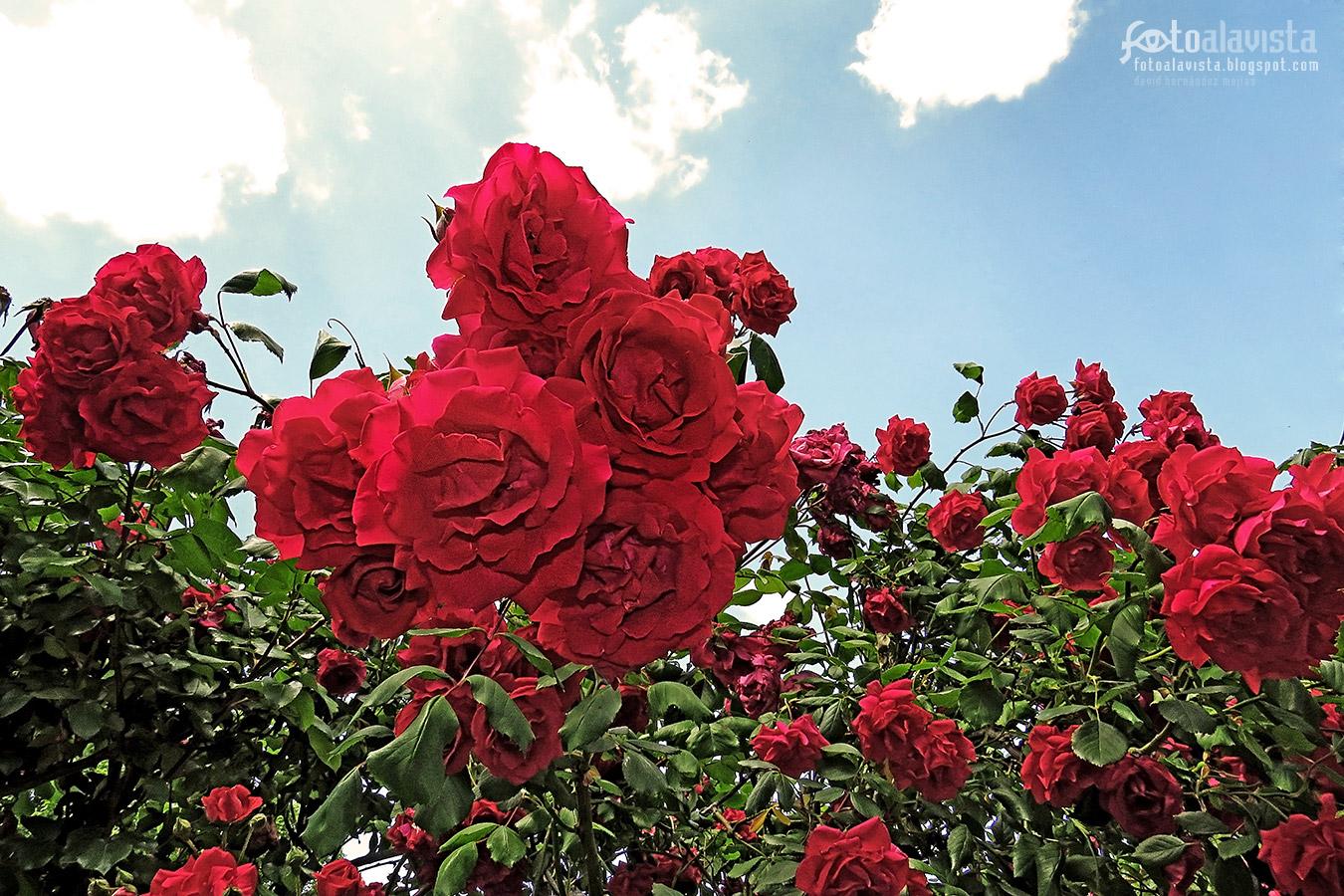 Festival de rosas - Fotografía