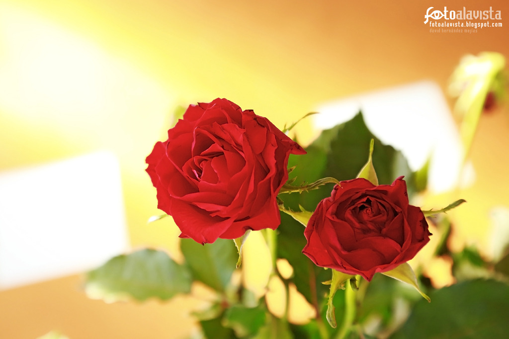 Dos rosas luminosas. Fotografía creativa - Fotografía artística