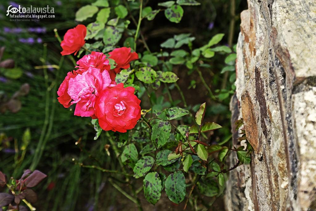 Rosas tras la corteza - Fotografía artística
