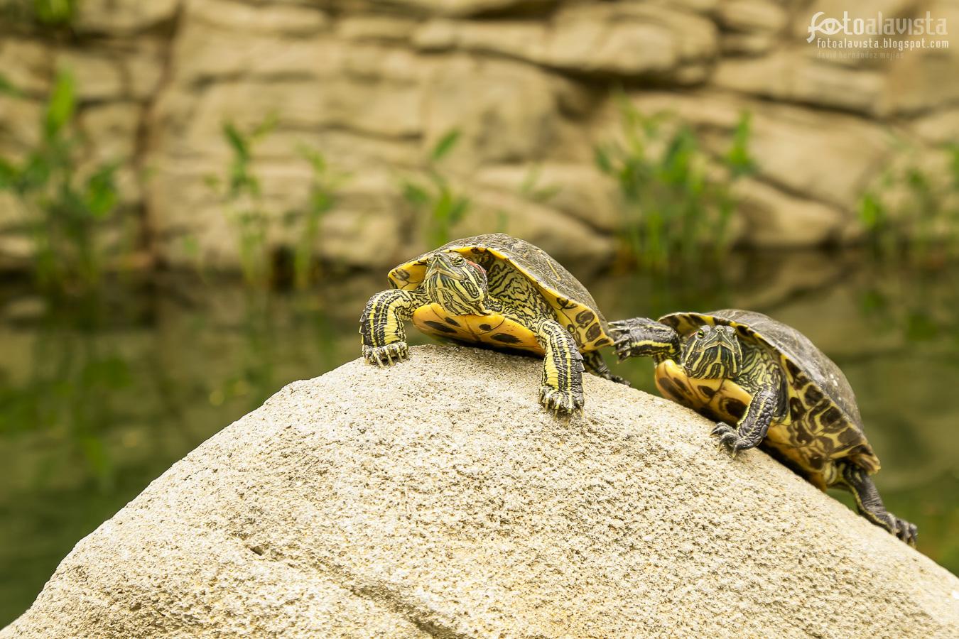 Tortugas como tigres - Fotografía